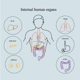 Órganos internos en un cuerpo humano Anatomía de la gente Fotos de archivo libres de regalías