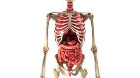 Órganos internos humanos en el lazo del movimiento listo stock de ilustración
