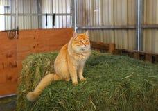 Óscar el gato del granero Fotografía de archivo