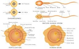 Óvulo e esperma da concepção ilustração royalty free