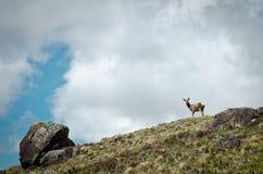 Ö för röda hjortar av Skye Royaltyfria Bilder