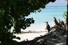 öar maldives grå heron Arkivbilder