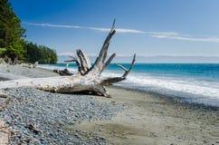 Öde Pebble Beach längs västkusten av den Vancouver ön Royaltyfri Foto