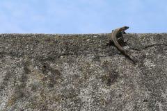 Ödla överst av en vägg med bakgrund för blå himmel royaltyfria bilder