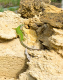 Ödla bland gula stenar. Arkivfoton