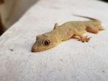 Ödla en reptil arkivbilder