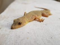 Ödla en reptil Arkivfoton