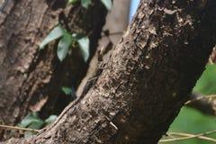 Ödla för bakgrunder 022 på träd Arkivfoto