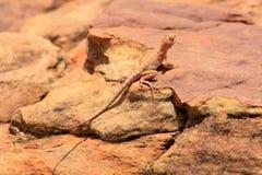 Ödla i öknen (Outback Australien) Royaltyfri Bild