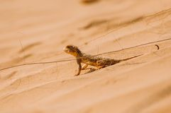 Ödla i öknen på den gula sanden fotografering för bildbyråer