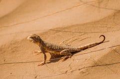 Ödla i öknen på den gula sanden royaltyfri bild