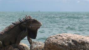 Ödla i den Aruba ön i det karibiskt stock video