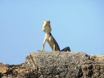 Ödla i Galle i Sri Lanka Arkivbilder
