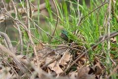 Ödla i gräset Arkivbilder