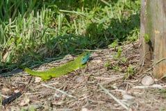 Ödla i gräset Arkivfoto