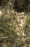 Ödla i gräset i den Krakow-Czestochowa Jura regionen Royaltyfri Foto