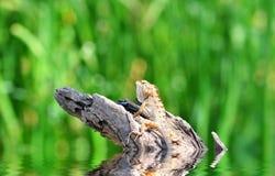 Ödla i naturen, leguan fotografering för bildbyråer