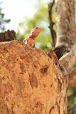 Ödla i Sir Lanka Arkivfoto