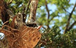 Ödla i Sir Lanka Arkivbilder