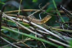 Ödla leguan, gecko, Skink, Lacertilia Royaltyfri Foto