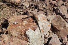 Ödla på en sten Arkivbilder