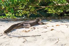 Ödla på en strand av Filippinerna, Palawan vattenbildskärm Arkivfoton