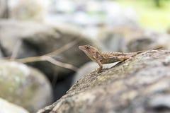 Ödla på en vagga, i dess naturliga livsmiljö Arkivfoto