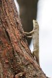 Ödla på ett träd som ser upp Arkivfoto