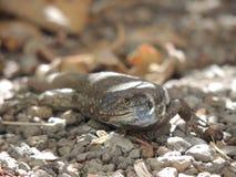 Ödla på La Palma, kanariefågelöar, Spanien Royaltyfria Foton