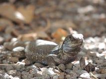 Ödla på La Palma, kanariefågelöar, Spanien Arkivfoto