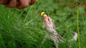 Ödla som äter en gul blomma stock video