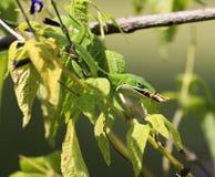 Ödla som äter rovet arkivfoton