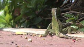 Ödla som bort går den Aruba ön i det karibiskt lager videofilmer