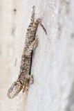 Ödla som hänger på en vägg Royaltyfri Fotografi