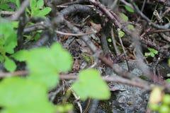 Ödla under skogräkningen Royaltyfria Foton