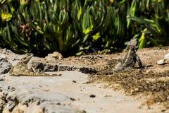 Ödla under stenen i öknen arkivfoto