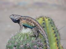 Ödla uppe på (den nära) kaktuns, Arkivfoto