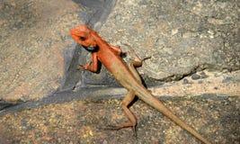 Ödla versicolor Calotes, regndjungel, Hainan ö Kina arkivbild