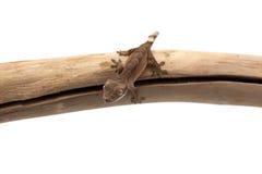 Ödlagecko som isoleras på vit Arkivbild