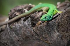 Ödlan är på en trädstubbe fotografering för bildbyråer