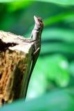 Ödlan i skogen Thailand Arkivbild
