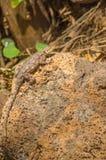 Ödlan kallade agamenybyggare i savannahen av Amboseli parkerar in Arkivfoto