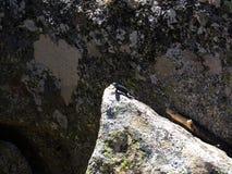 Ödlan på överkanten av Moro Rock med dess fast vaggar textur - sequoianationalpark royaltyfri fotografi