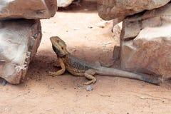 Ödlan - Pogona vitticeps - den skäggiga agamaen sitter på jordning på den australiska zoo Gan Guru i Kibutz Nir David i Israel Royaltyfria Foton