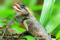 Ödlan Thailand upptäcker Fotografering för Bildbyråer