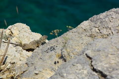 Ödlan vaggar på Royaltyfri Fotografi