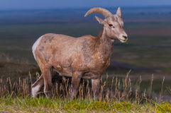Ödland-Bighorn-Schaf-Mann stockfotos