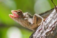 Ödlor är främst köttätande på Borneo arkivbild