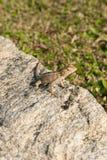 Ödlor kameleont, kameleont på stenen arkivfoto