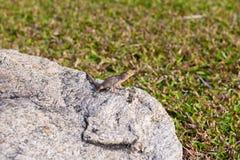 Ödlor kameleont, kameleont på stenen arkivfoton
